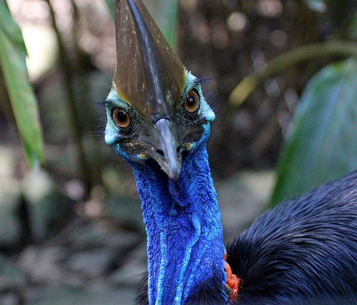 Image result for southern cassowary