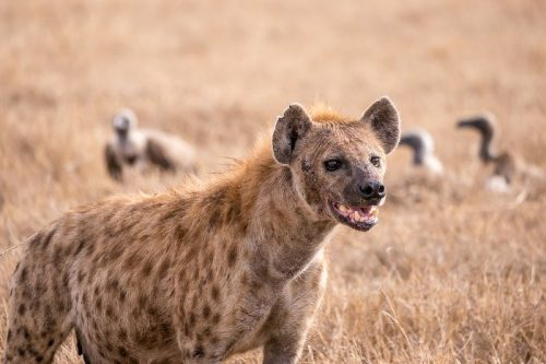 spotted hyena facts