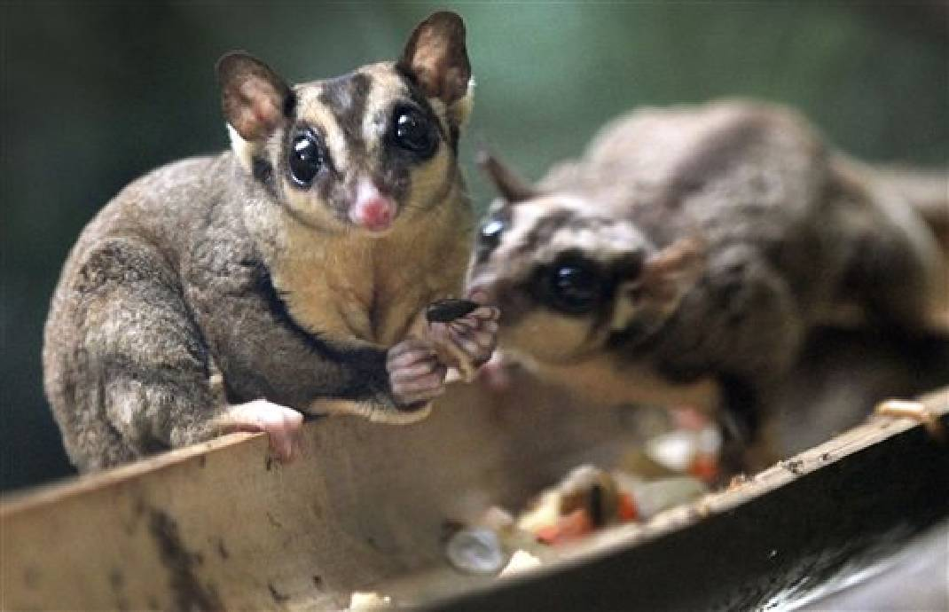 Sugar Glider Facts | Anatomy, Diet, Habitat, Behavior - Animals Time