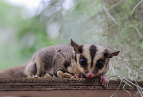 sugar glider facts