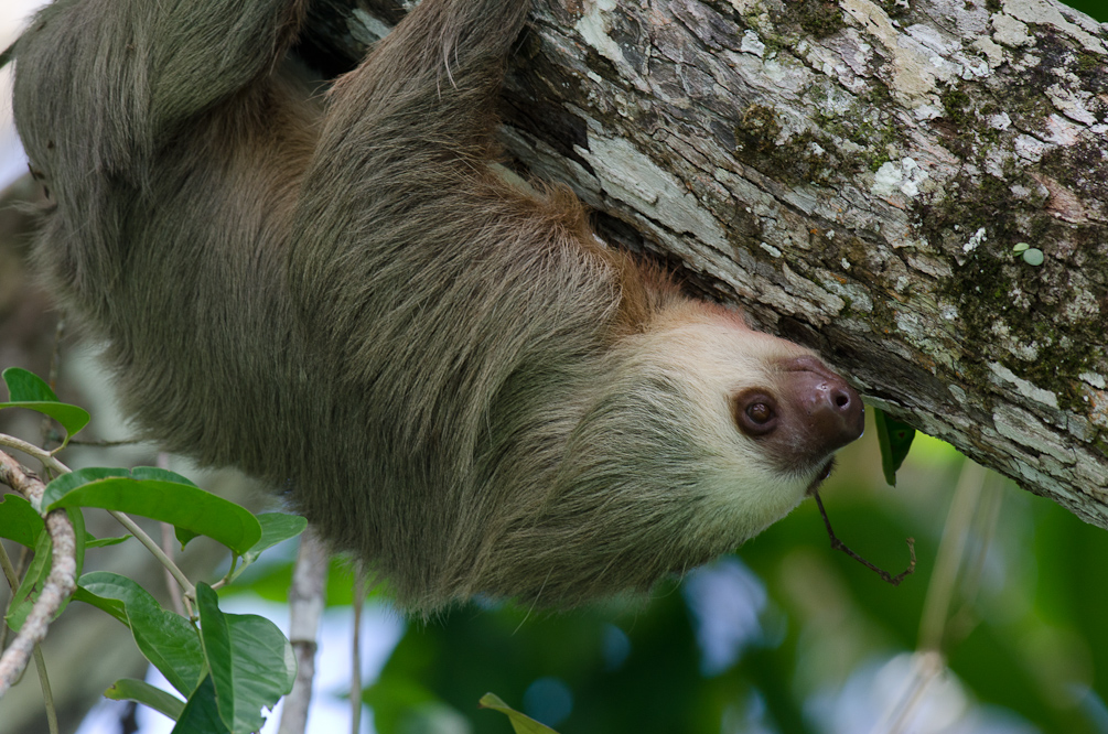 two toed sloth vs three toed But, when it comes to diet, they also vary while the three-toed sloth's diet  involves certain plant species and bugs, the two-toed species isn't really picky.