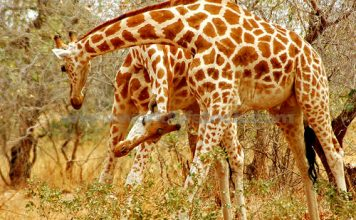 west african giraffe facts