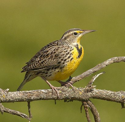 Western Meadowlark facts