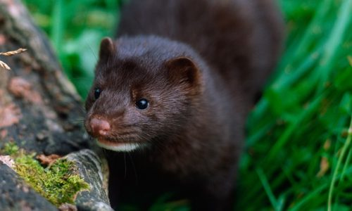 american mink facts