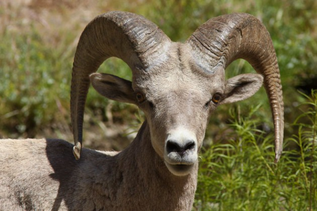 Desert Bighorn Sheep Facts | Anatomy, Diet, Habitat, Behavior ...