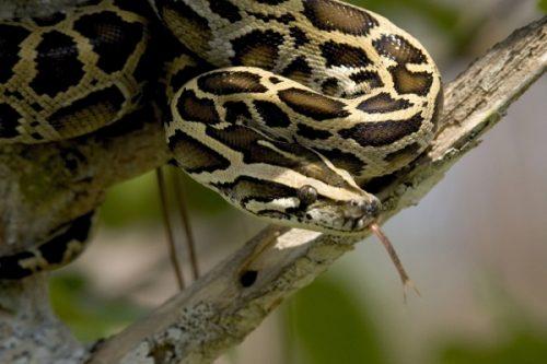 burmese python facts