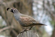california quail facts