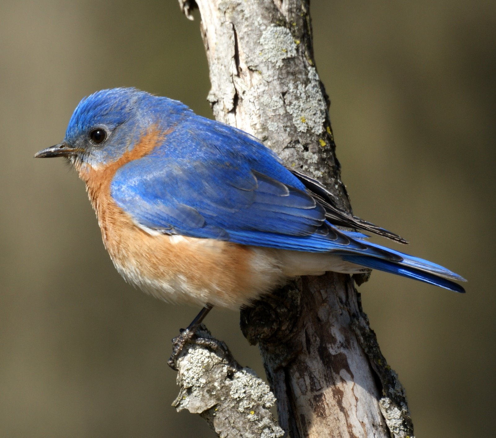 Eastern Bluebird Facts | Anatomy, Diet, Habitat, Behavior - Animals Time
