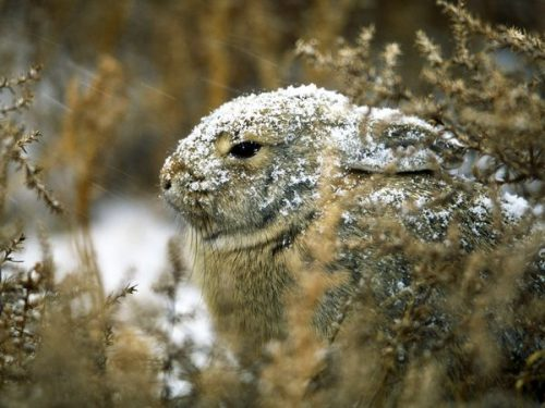 eastern cottontail rabbit facts