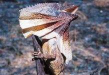 frilled neck lizard facts