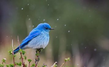 mountain bluebird facts