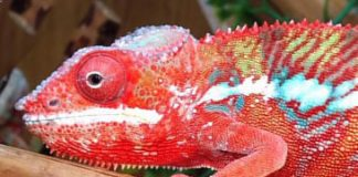 panther chameleon facts