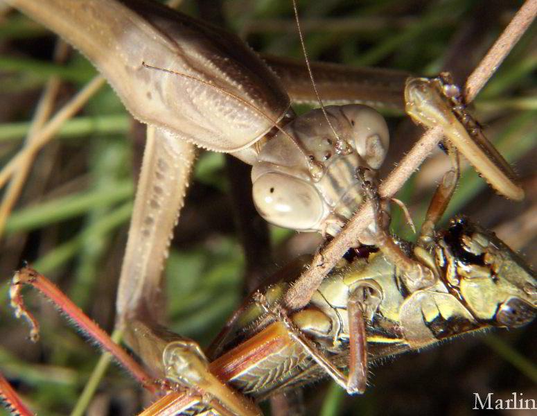 praying mantis essay