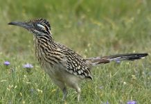 roadrunner bird facts