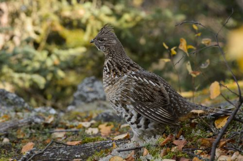 ruffed grouse facts