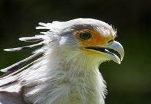 secretary bird facts