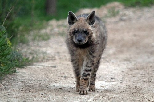 striped hyena facts