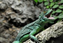basilisk lizard facts