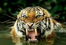 where do bengal tigers live