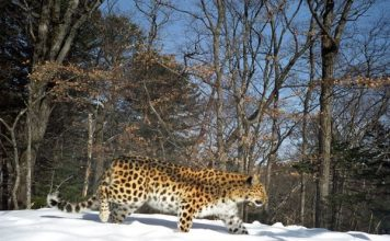 Amur leopard in snow