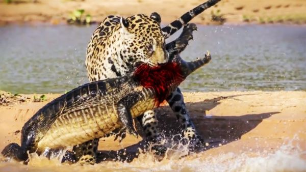 leopard vs crocodile