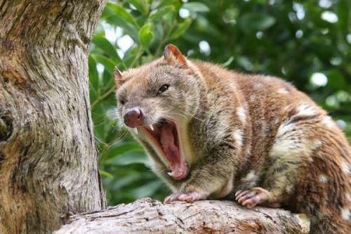 marsupial animals