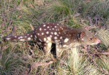 tiger quoll