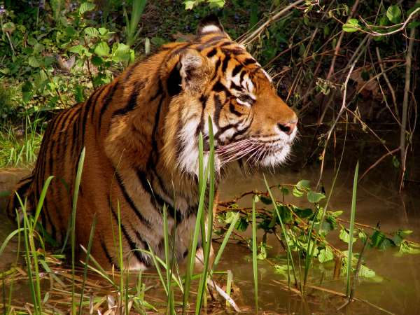 Tiger importance for humans