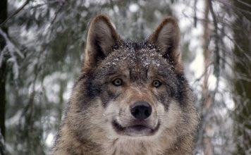 eurasian wolf facts