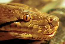 reticulated python facts