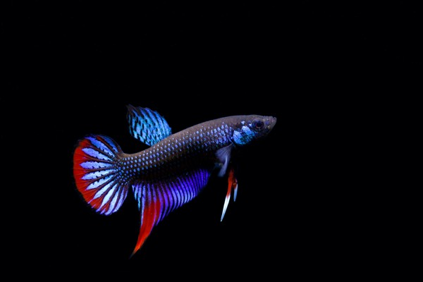 male_betta_imbellis