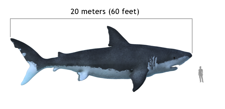 Carcharodon_megalodon_size_compasison_with_man